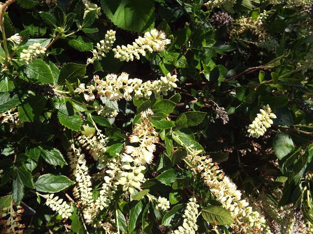 Clethra alnifolia summersweet flowers