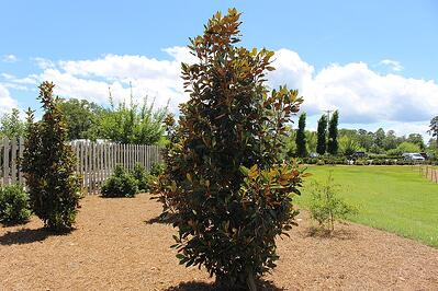 Dwarf Southern Magnolia