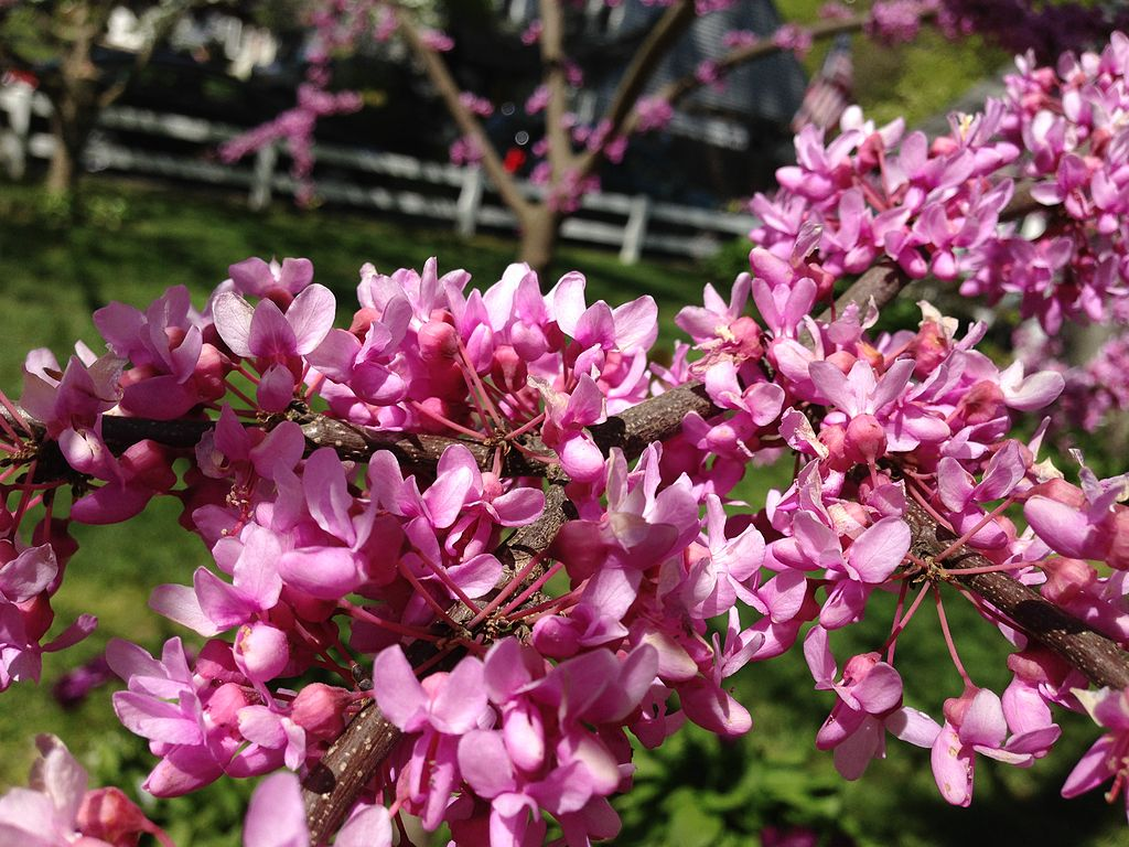 Eastern Redbud flowers