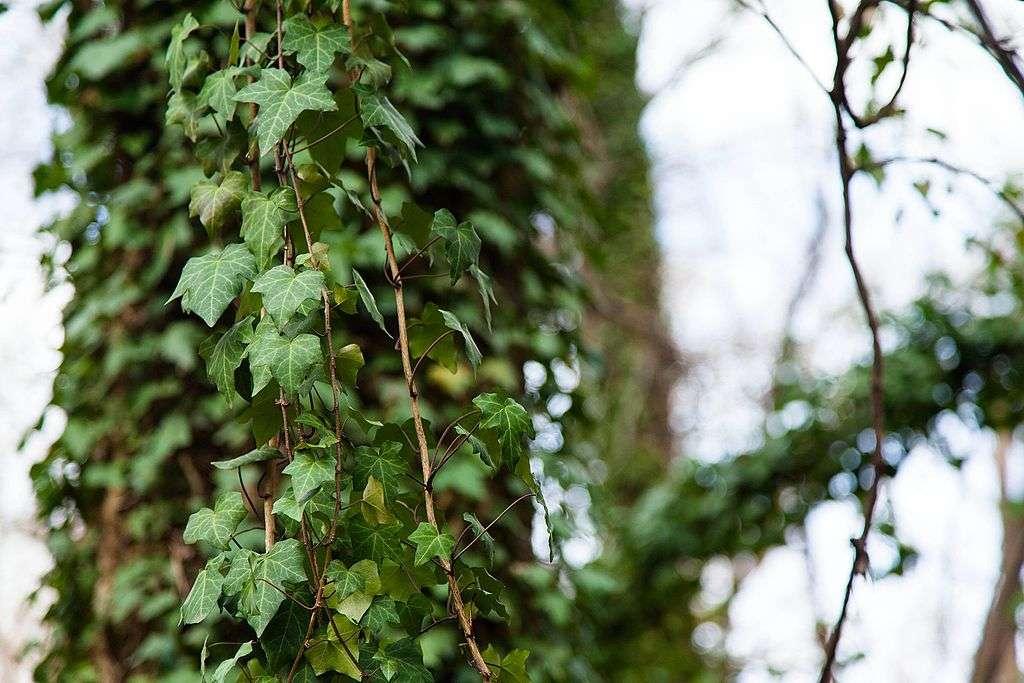 English Ivy invasive plant