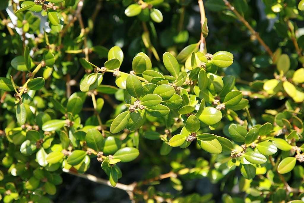 Korean Boxwood shrub