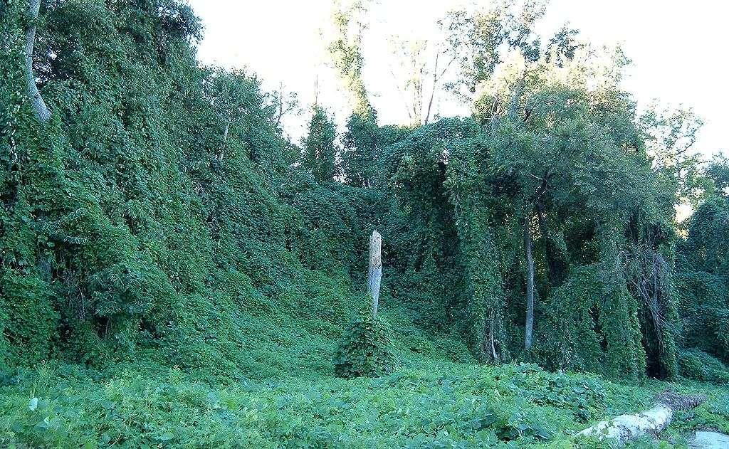 Kudzu invasive plant vine