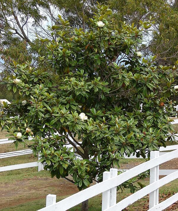 The 7 Best Evergreen Trees Plants For Washington Dc Virginia And