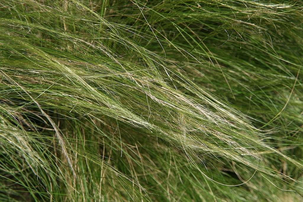 Mexican feather grass - Nassella tenuissima