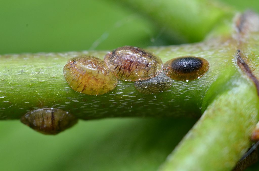 Scale insect on branch
