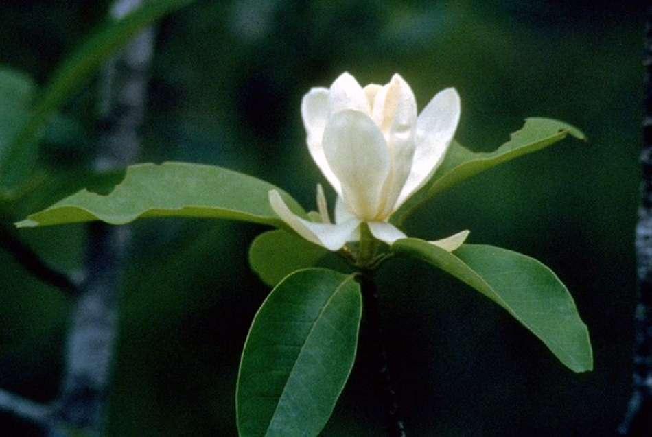 Sweetbay Magnolia virginiana flower