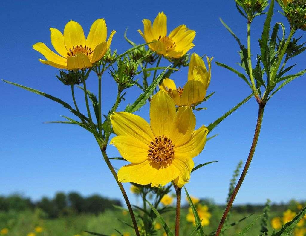 Tickseed flowers