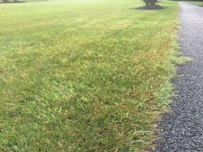 Bermudagrass in lawn - a warm season grass