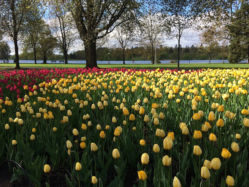 yellow and red tulips on commercial landscape