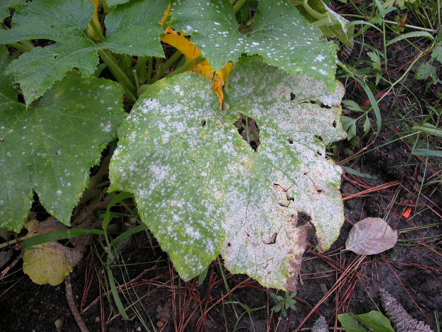 Powdery Mildew plant disease