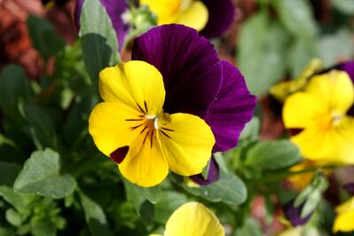 purple and yellow pansy