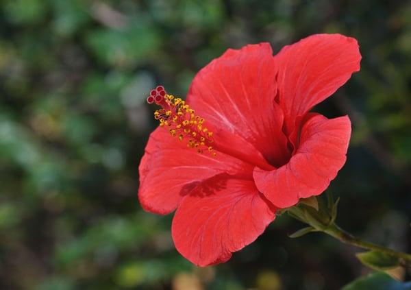 Hibiscus tropical plant