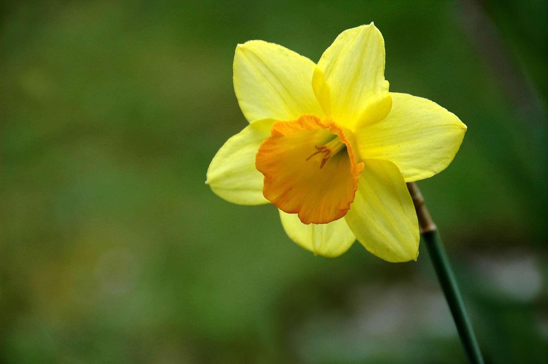 dafodil plant