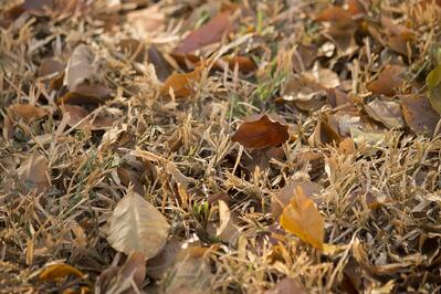leaves left on lawn