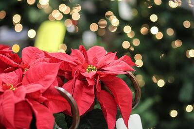poinsettia for commercial holiday decorating