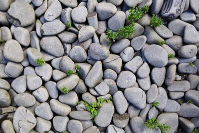 Rock mulch with weeds