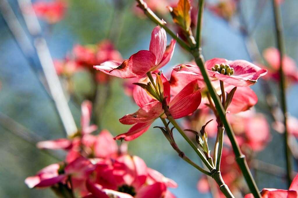 Cherokee Brave Flowering Dogwood