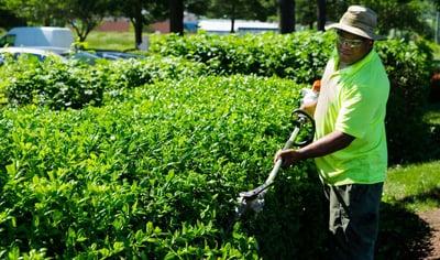 professional landscaper maintaining shrubs
