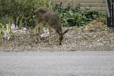 Deer damaging landscape