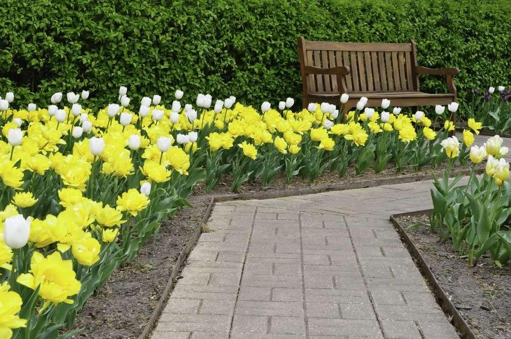 Tulip beds in garden path