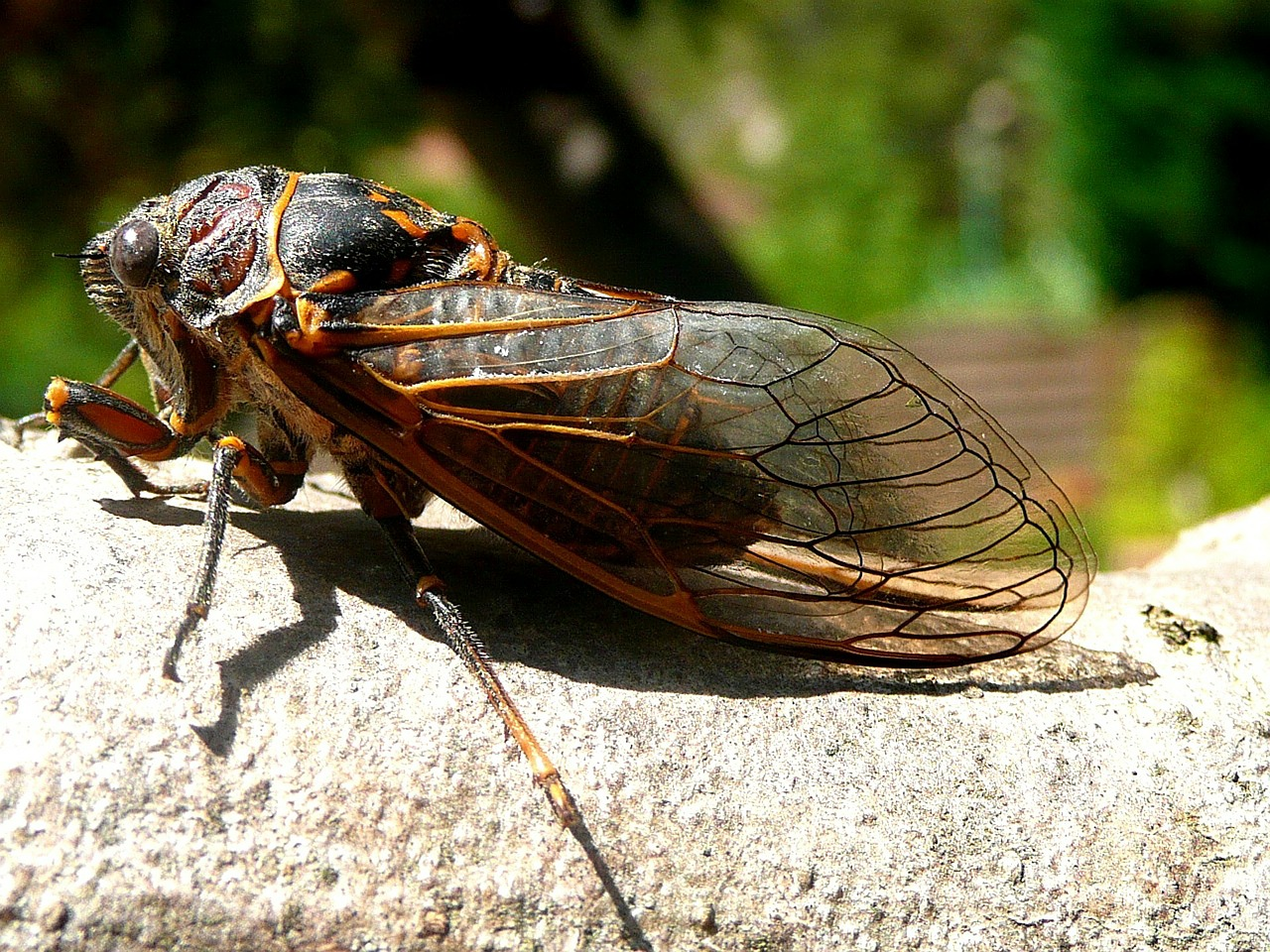 Can Cicadas Cause Damage to Plants?